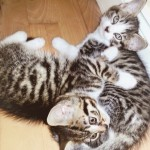 Stunning Bengal x British Blue Kittens For Sale in London