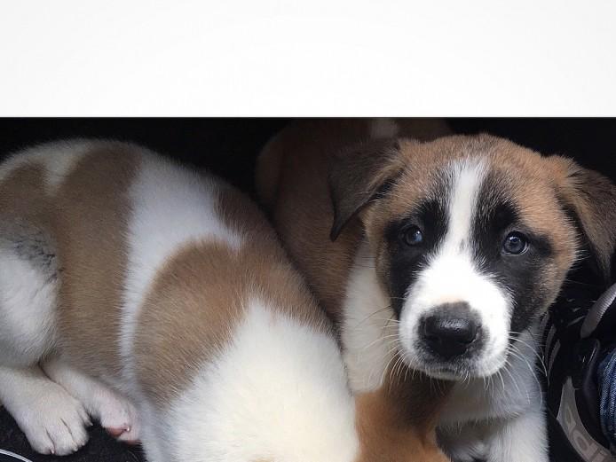 Akita cross husky puppy