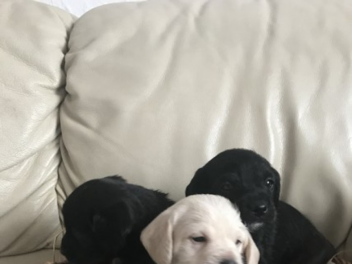 Beautiful Pugglepoo Puppies For Sale