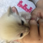 We have 4 adorable Ragdoll Babies Available to Reserve