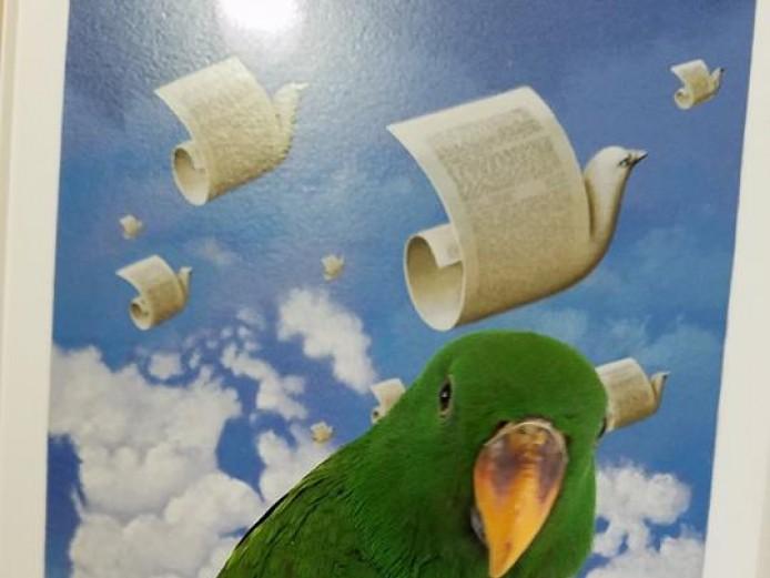 S.I eclectus birds