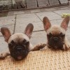 Pets for Sale - **** Top Quality **** Chocolate Fawn Triple Carrier French Bulldog Males