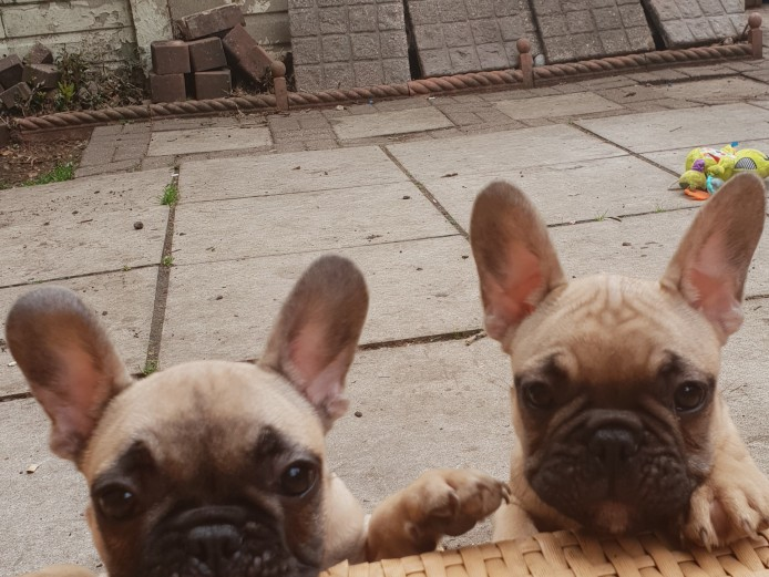 **** Top Quality **** Chocolate Fawn Triple Carrier French Bulldog Males