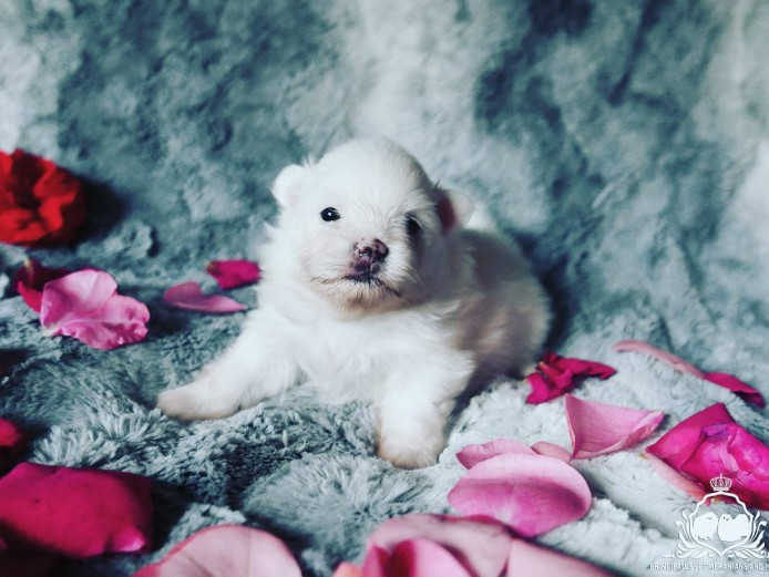 Impeccably Pure Snow White Pomeranian Baby Boy Gem from Cloud Nine