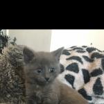 Stunning Russian Blue x Burmese kittens for sale