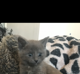 Stunning Russian Blue x Burmese kittens for sale