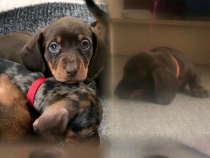 Full pedigree miniature dachshund ((PRA CLEAR)) last 1 left