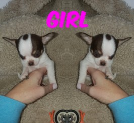 Kc registered chihuahuas