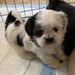 Beautiful Kc Reg Lhasa Apso Puppies
