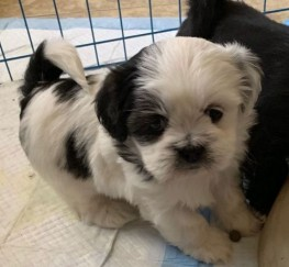 Pets  - Beautiful Kc Reg Lhasa Apso Puppies