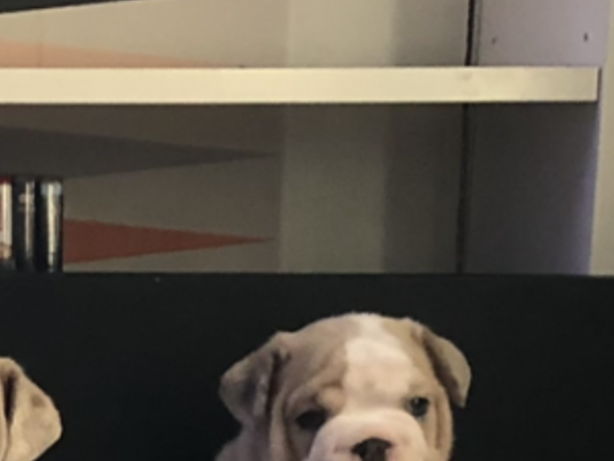 READY TO GO!!! Full Suit Rare Coloured Merle Bulldogs