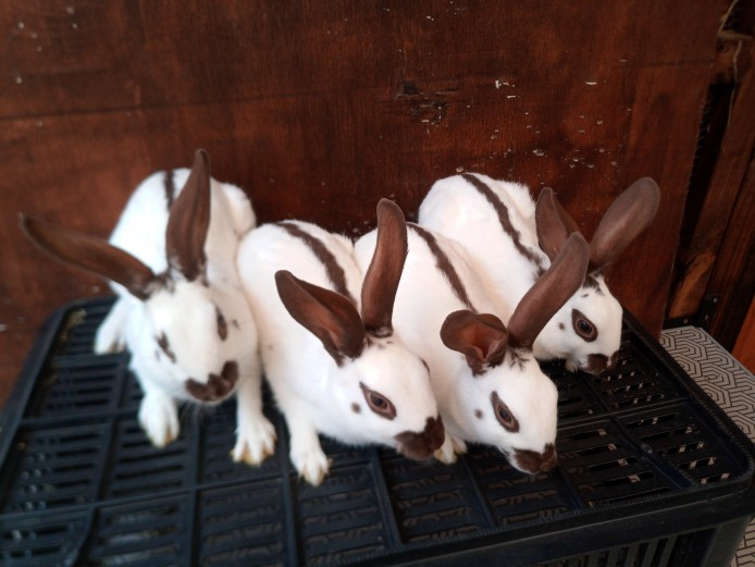 Fully vaccinated English spot rabbits