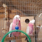 2 tame-hand-reared galah cockatoos