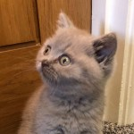 Adorable British Short Hair Male Kitten