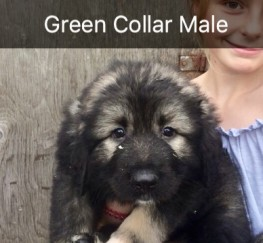 Pets  - Caucasian Ovcharka Shepherd Puppies 8 weeks old