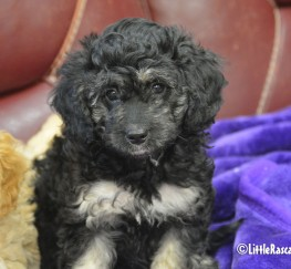 Pets  - Cavapoo puppies for sale