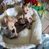Pets  - Exceptional Chihuahua Puppies