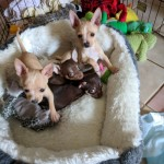 Exceptional Chihuahua Puppies