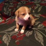 Jackaranian puppy's for sale