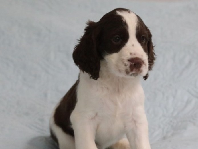 Exceptional English Springer Spaniels Puppies