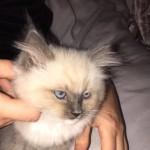 Blue tip ragdoll kitten