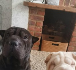 Pets  - Beautiful Shar Pei Puppies