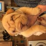 Quality Shar Pei Pups