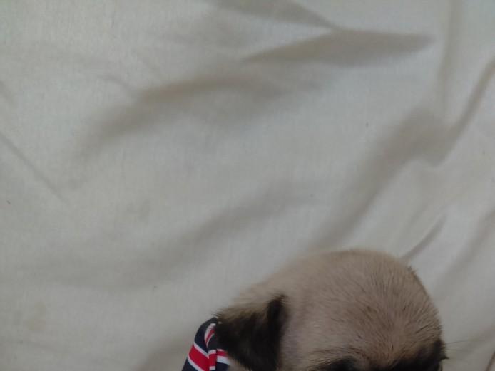 **k.c pugs for sale **