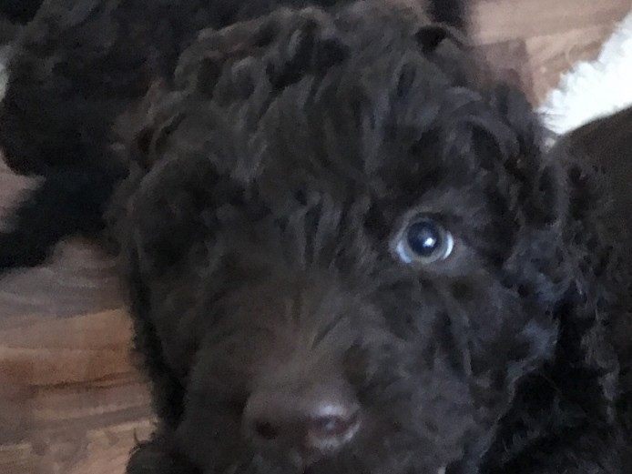 Labradoodle Puppies (Multigen)