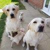 Pets  - Stunning pedigree labrador puppies
