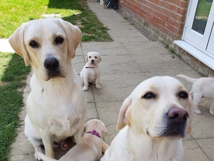 Stunning pedigree labrador puppies