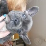 beautiful blue french bulldog pups full kc
