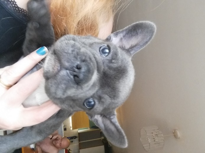 beautiful blue french bulldog pups full kc
