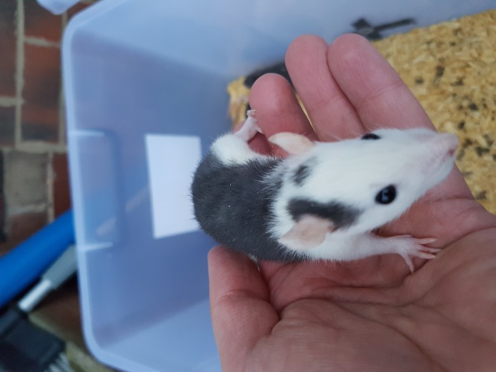 Baby Rats for Sale, Both Fancy and Standard