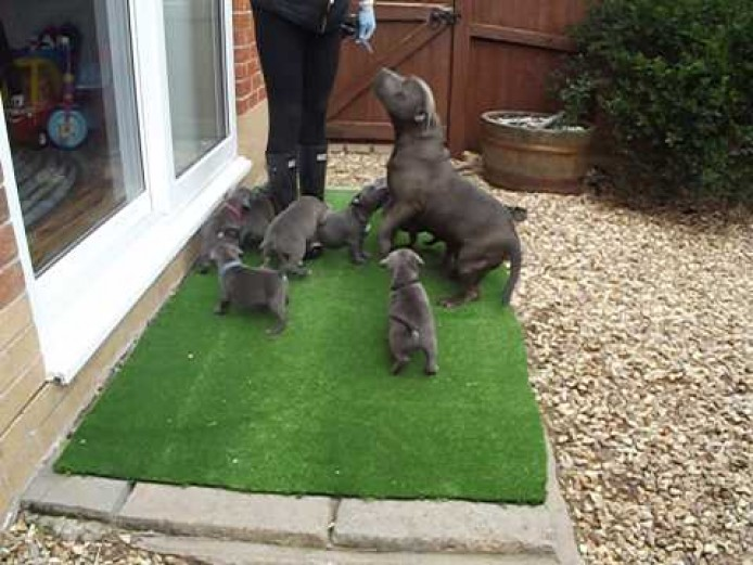 Best Bred Blue Staff Puppies Anywhere In The UK