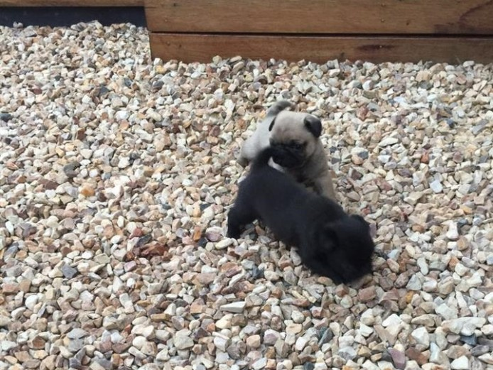 adorable pure bred pug puppies for new loving home
