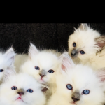 Full pedigree kittens