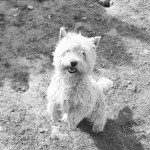 West Highland terrier puppies