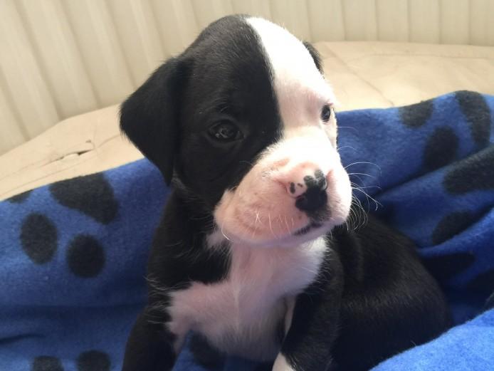 Stunning boxador puppies