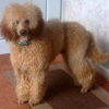 Pets  - Miniature poodle Stud PRA Clear K.C registered, would considering selling him