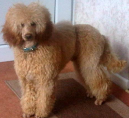 Miniature poodle Stud PRA Clear K.C registered Proven