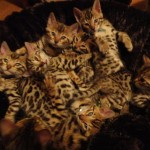 Pure Bred Tica Reg Bengal Kittens For Sale