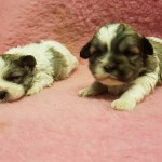 Lovely Malshi pups for sale