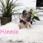Adorable French bull dog Puppies for sale - 2left