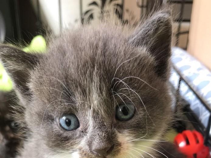 Cross Maine coon kittens