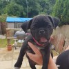 Pets  - Beautiful healthy female pug puppy for sale