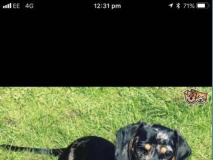 Full pedigree miniature dachshund ((PRA CLEAR)) last 1 left