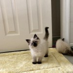 blue eyes ragdoll kittens available, seal point