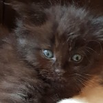 Beautiful Ragdoll x Maine Coon Kittens