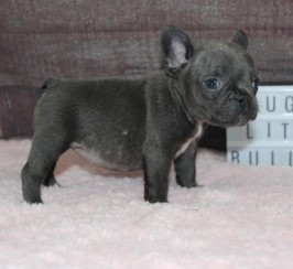 Beautiful Blue and Fawn Frenchies!!Reduced French Bulldog Puppies
